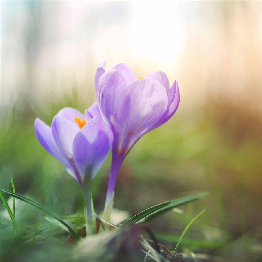 Crocus de primavera