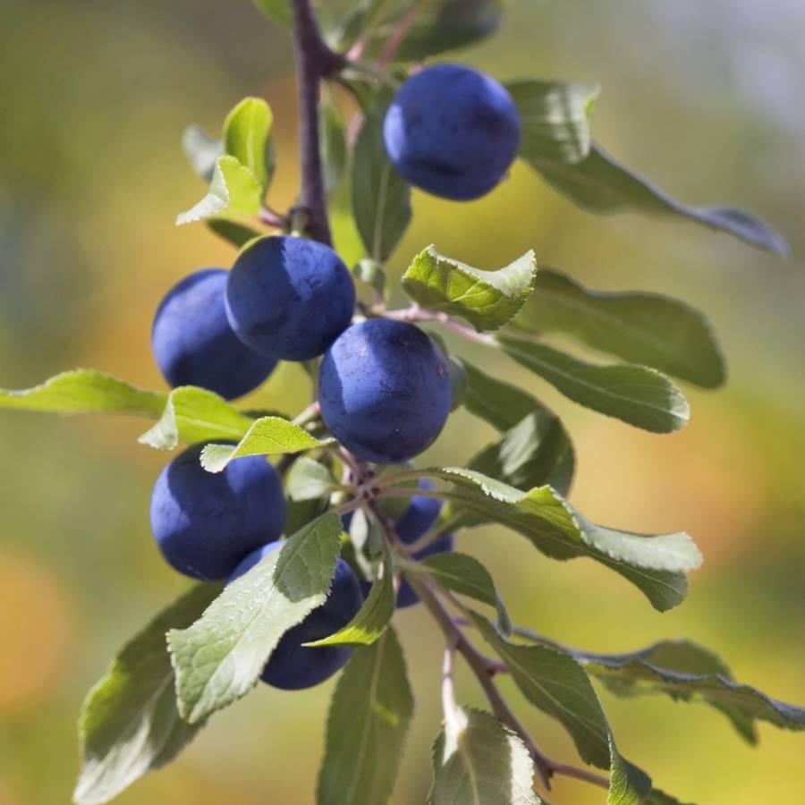 6 frutas del bosque con propiedades medicinales