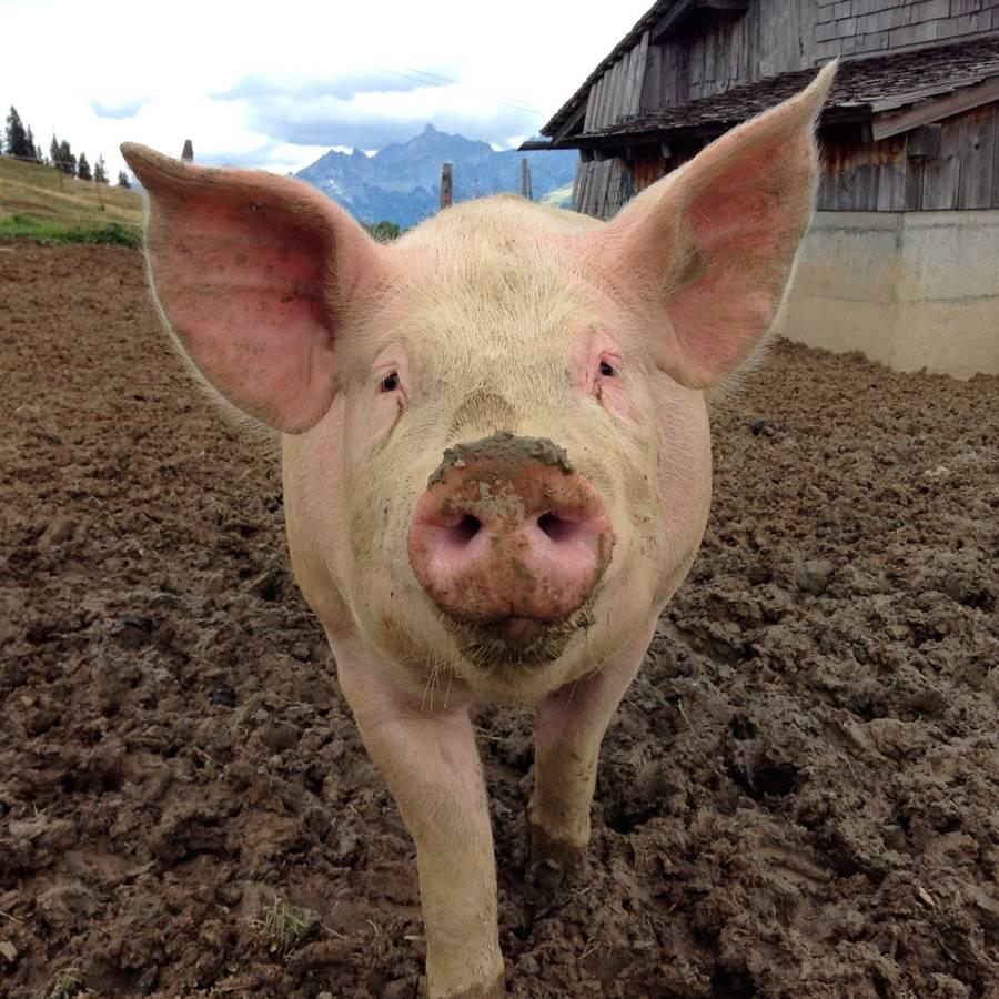 Las granjas de cerdos y gallinas empeoran el curso del coronavirus