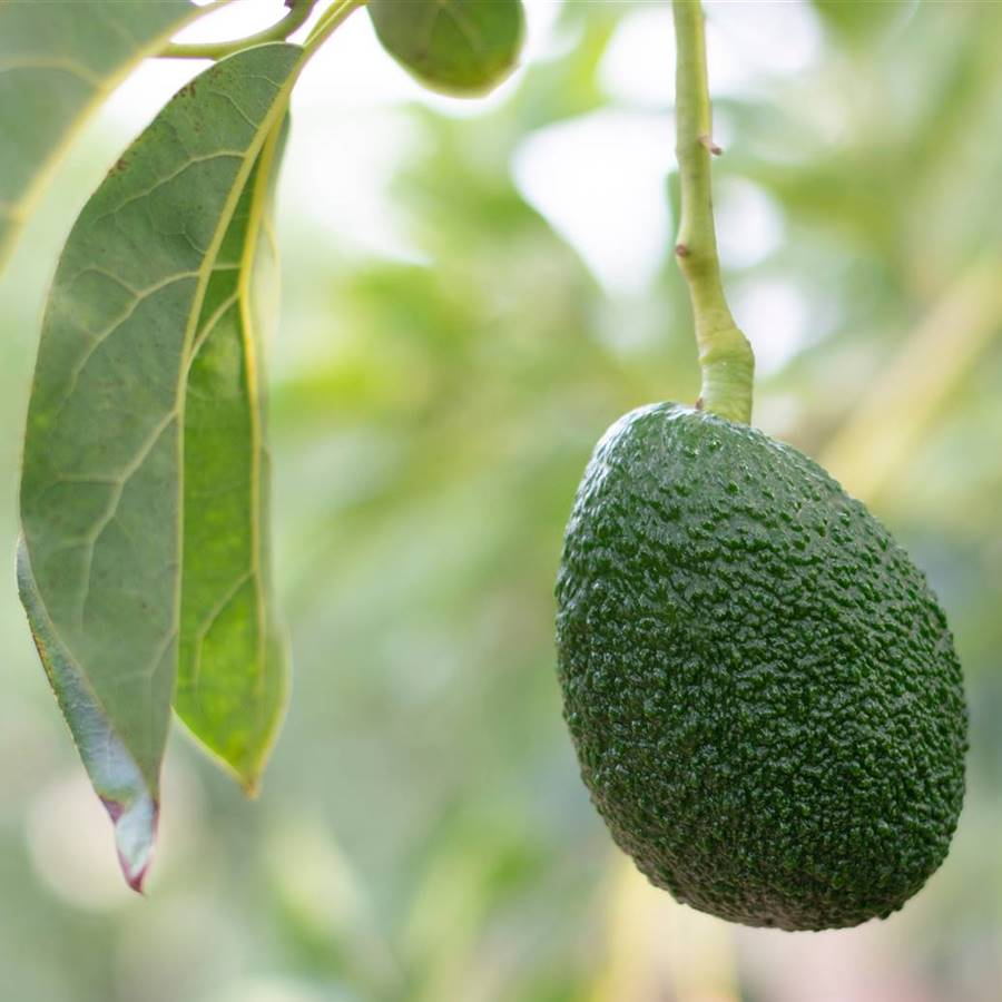 7 alternativas sostenibles al aguacate