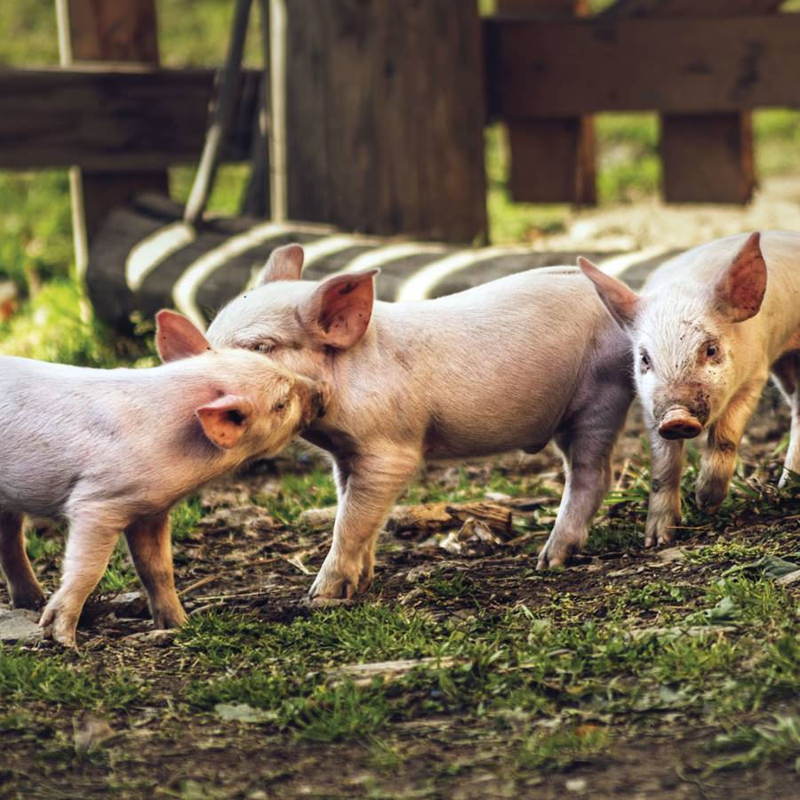 Let's talk about pork: ¿así se usa el dinero europeo?