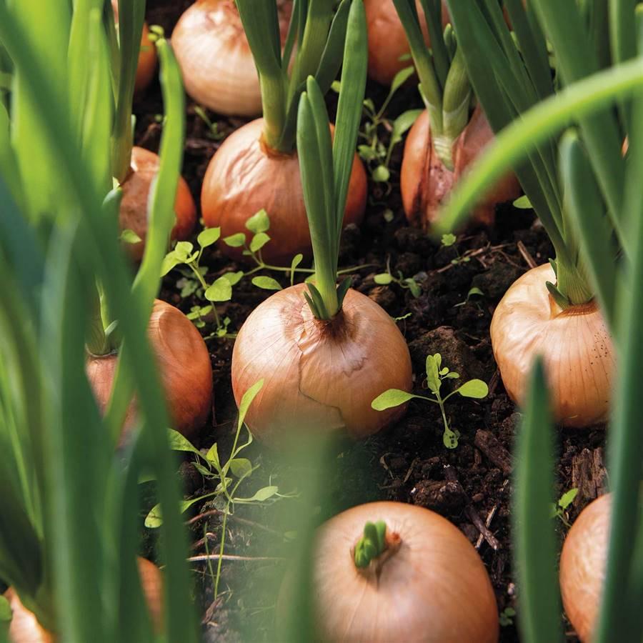 Calendario del huerto: qué plantar y recoger en julio