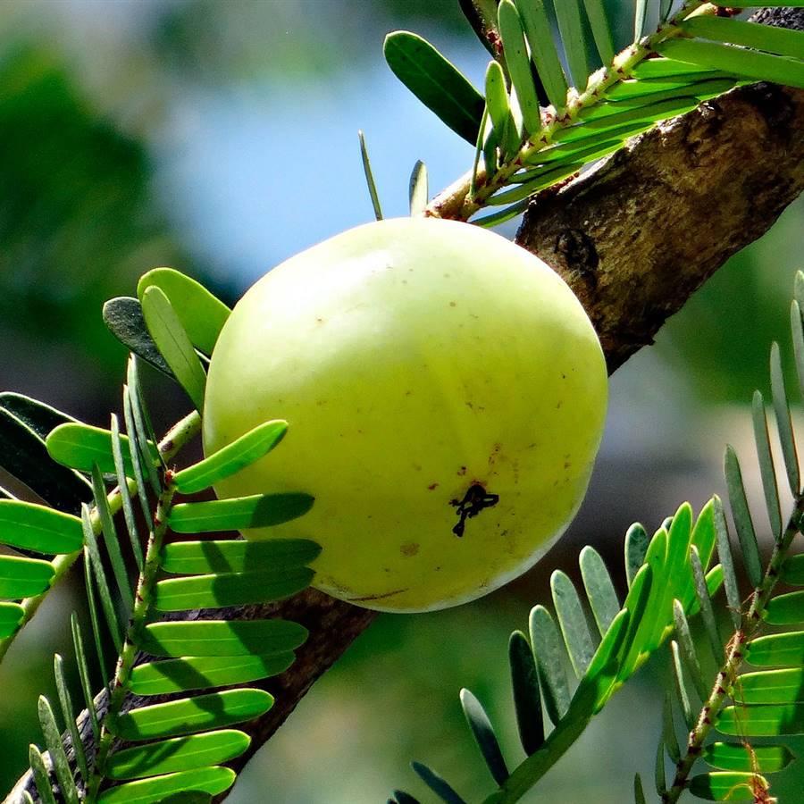 Amla, el fruto de la India que refuerza y da brillo a tu cabello