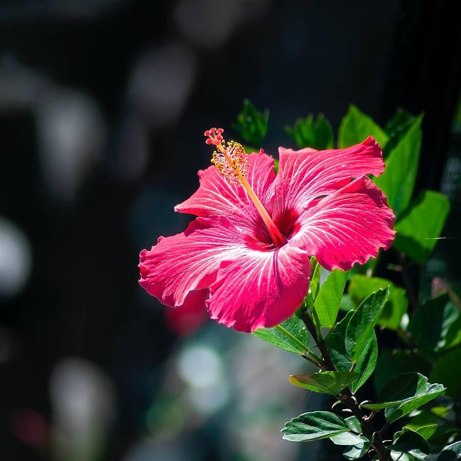 Cómo propagar hibiscos con esquejes